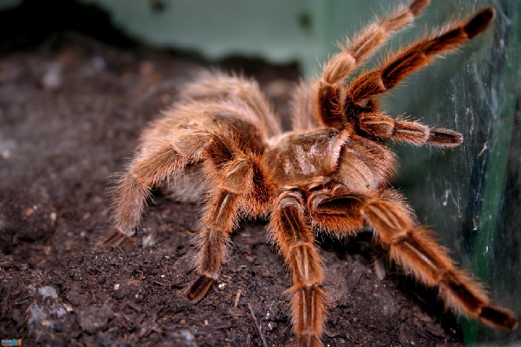 Red tarantulas
