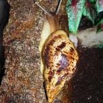 Улитка Achatina reticulata