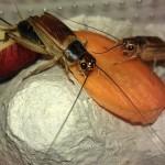 Домовый сверчок (Acheta Domesticus)
