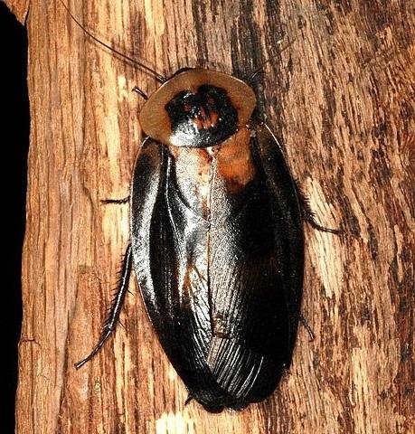 Blaberus craniifer black