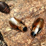 Дисковидный таракан (Blaberus discoidalis)