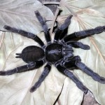 Птицеед Lampropelma sp. Borneo Black