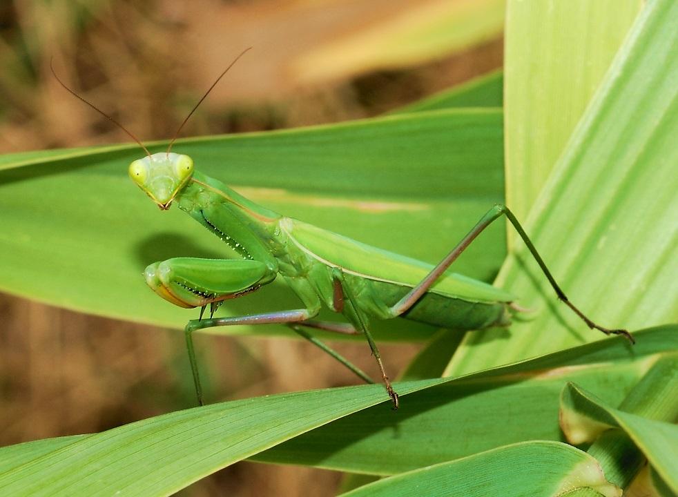 Обыкновенный богомол (Mantis religiosa)
