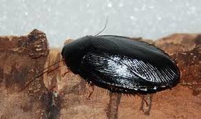 Pycnoscelus nigra