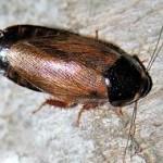 Суринамский таракан (Pycnoscelus surinamensis)