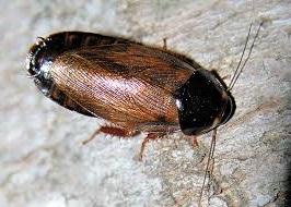 Pycnoscelus surinamensis