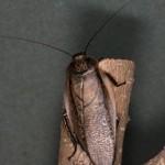 Мадерийский таракан (Rhypharobia maderae)