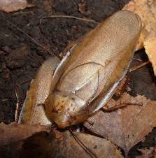 Rhypharobia maderae Gold