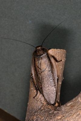 Rhypharobia maderae