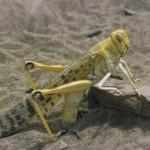 Пустынная саранча (Schistocerca gregaria)