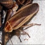 Таракан-светлячок (Schultesia lampiridiformis)
