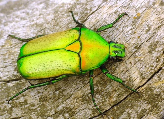Smaragdesthes africana africana