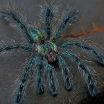Птицеед Avicularia diversipes