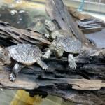 каймановые черепахи