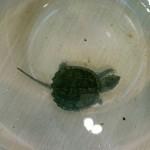 Каймановая черепаха (Chelydra serpentine)