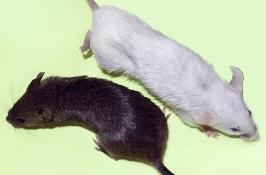 Кормовые мыши