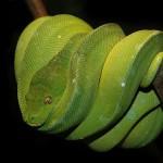 Зеленый древесный питон
