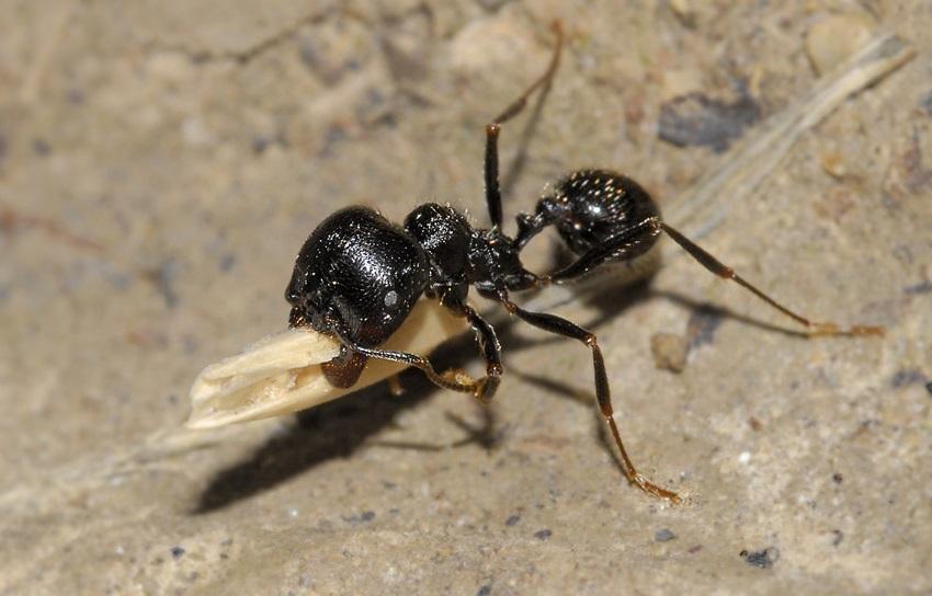 муравьи-жнецы