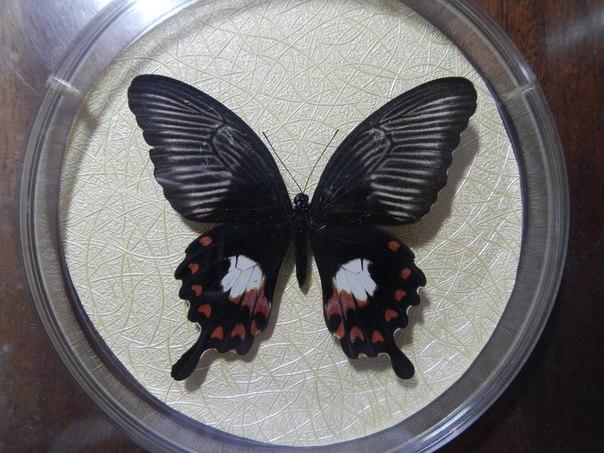Сухая бабочка