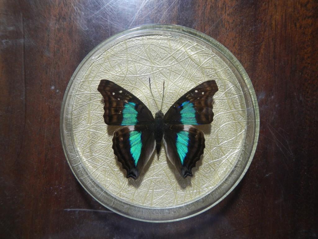 Бабочка для коллекции