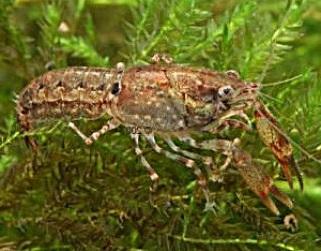 Карликовый болотный рак (Cambarellus puer)