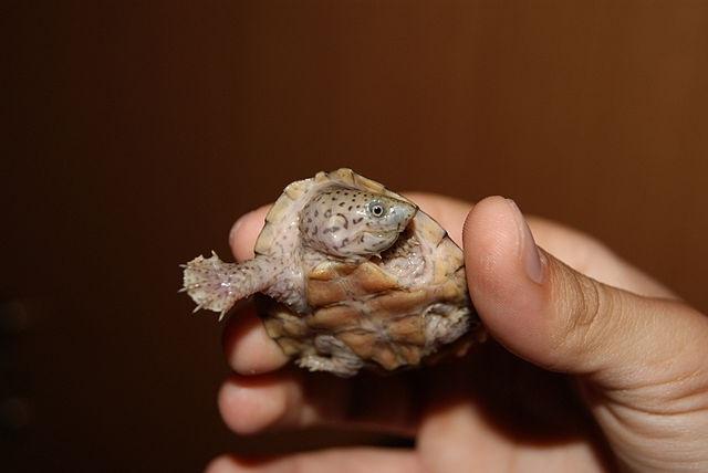 Килеватая мускусная черепаха