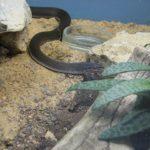 Африканская домовая змея (Boaedon fuliginosus)