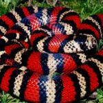 Андская молочная змея (Lampropeltis triangulum andesiana)