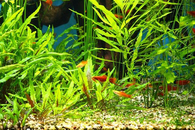 Меченосцы в аквариуме