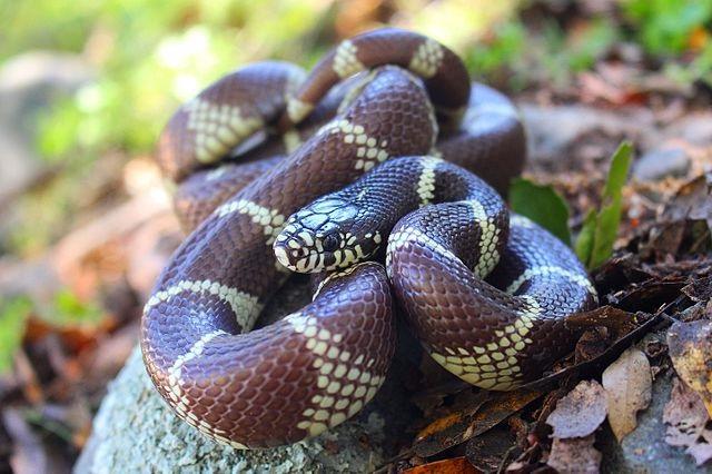 Обыкновенная королевская змея