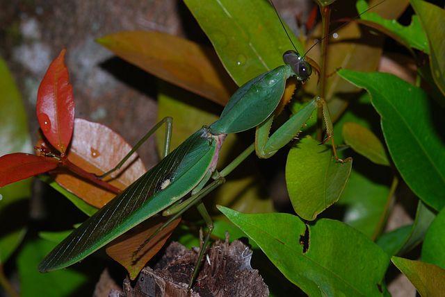 Rhombodera basalis (щитовидный богомол)